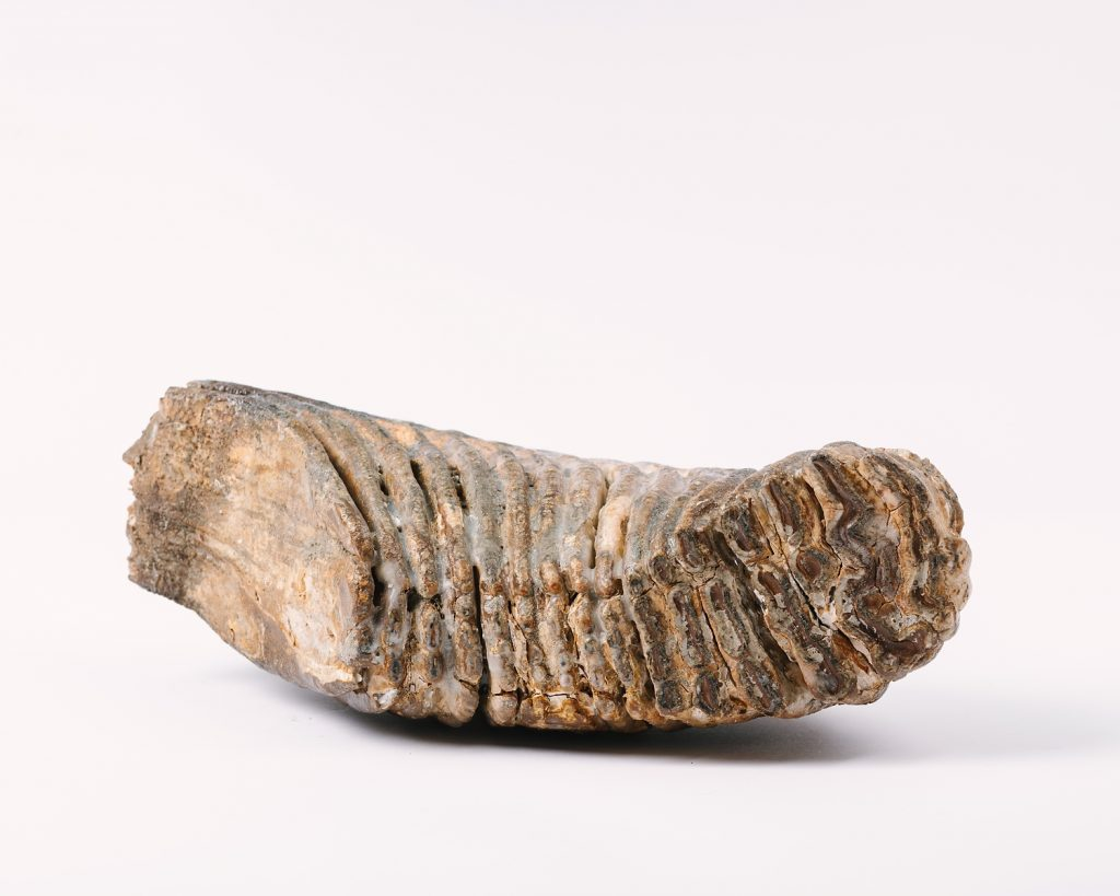 Elephas antiquus molar tooth, © Kent County Council Sevenoaks Museum. This now extinct species was twice the size of a modern African elephant, a relative of the woolly mammoth.