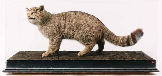Taxidermy wild cat